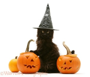 Black Maine Coon kitten with Halloween Pumpkins and wearing a witch's hat